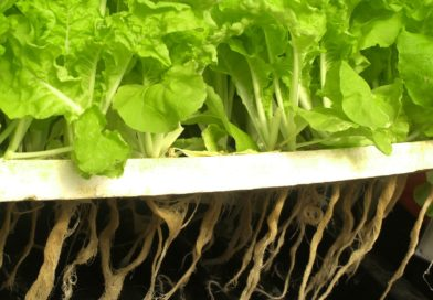 Hydroponics: The Indoor Growers Choice